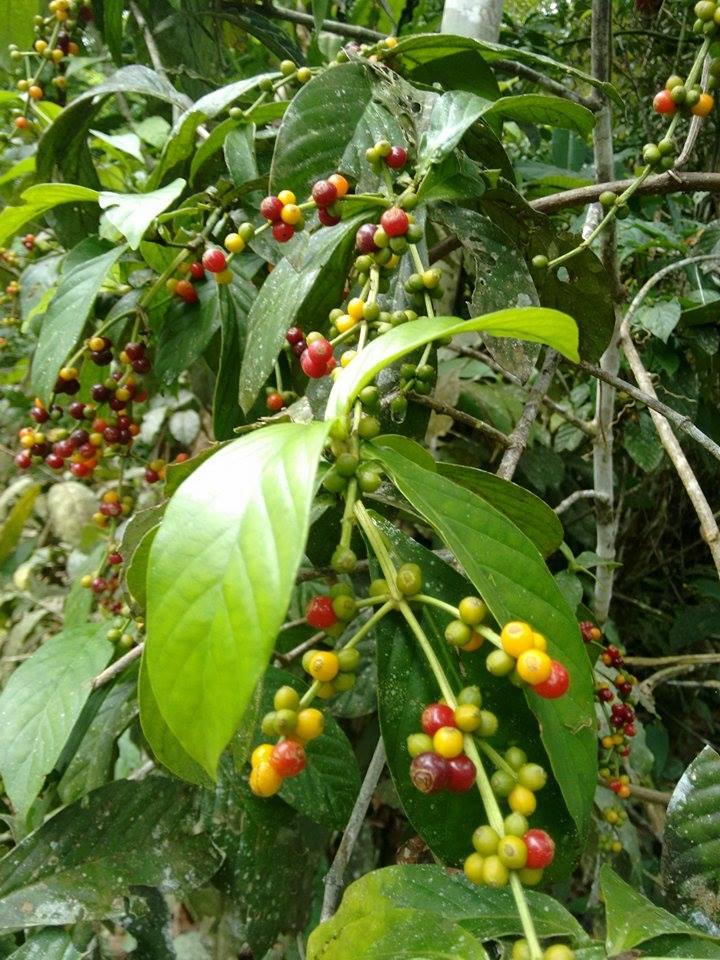 how to get ayahuasca tea